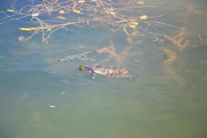 Želvy v jezírku Kimpi