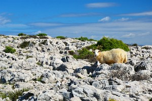 Ovce na ostrově Krk